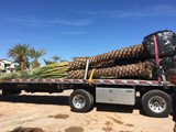 Date Palms available